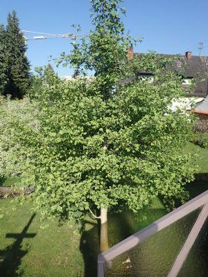 Ginkgo Baum im Garten