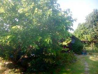 Garten Blick auf das Haus / Maulbeerbaum