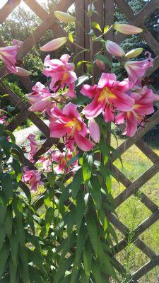 Lilien im Garten -1