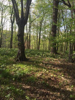 Laubbaumbestand im Wald